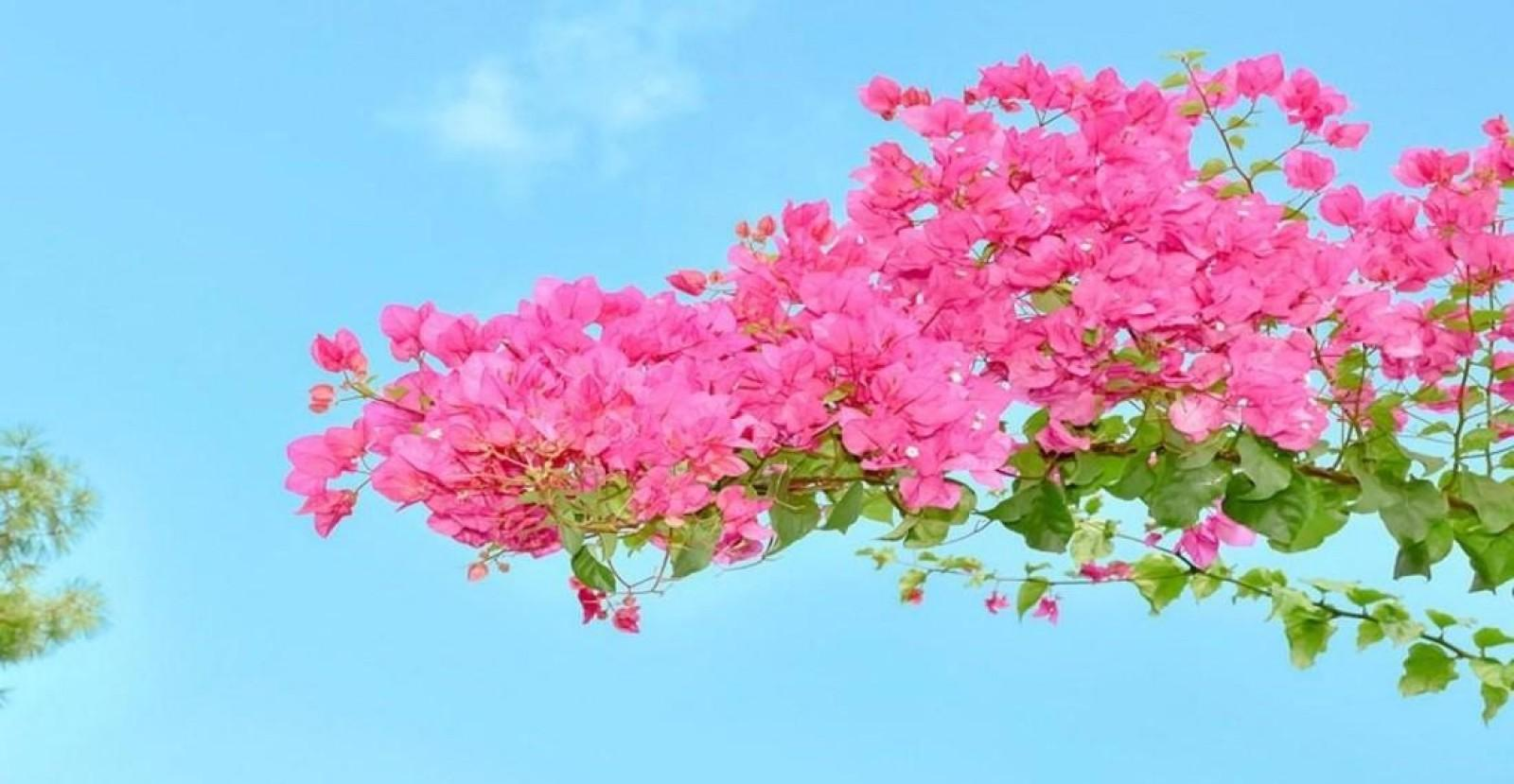 Bougainvillea in Alonissos